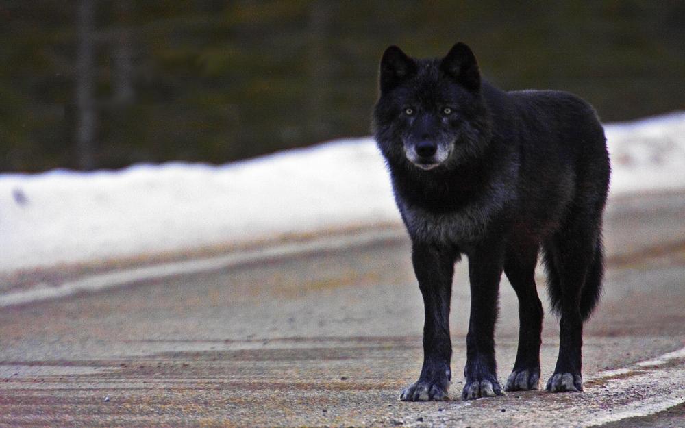 Black WolfPhoto
